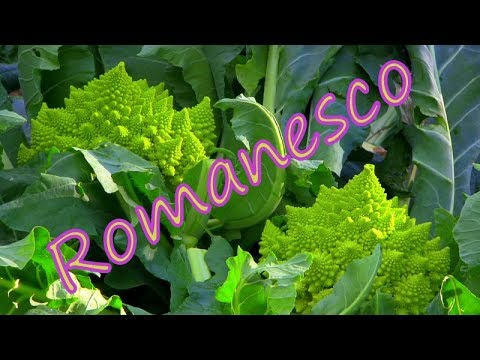 """""""Romanesco"""" from planting to harvesting ..."""