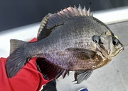 Some Nice Bluegill This Morning…..9/13/2021