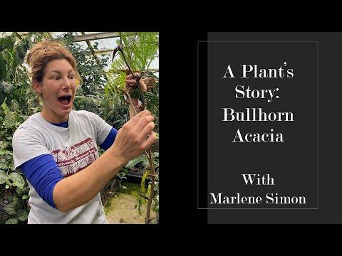 A Plant's Story: Bullhorn Acacia
