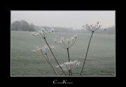 Winter Blossoms I