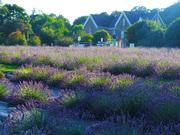 Wexford Lavender Farm PaintOut