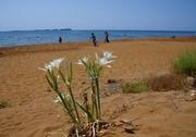 Κρινάκια της θάλασσας (Pancratium maritimum)