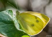Η Μαγεμένη ...Πεταλούδα