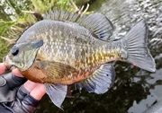 Flexed Out Gill…..10/8/2021