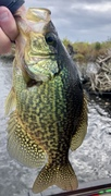 Calico Crappie……Golden Colors of the Fall…..10/8/2021