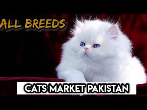Persian cats and Persian kittens in Rawalpindi Islamabad Pets market  | Pakistan