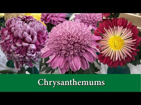 How to Grow Chrysanthemums - Hardy Mums and Exhibition Types.