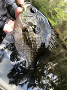 Some Gills out Dueled The Bass to Get The Jig…..10/23/2021