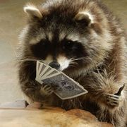 animals-raccoon-playing_cards1