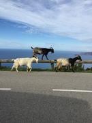 geiten op Corsica