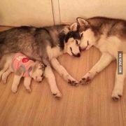 dog-husky-family1