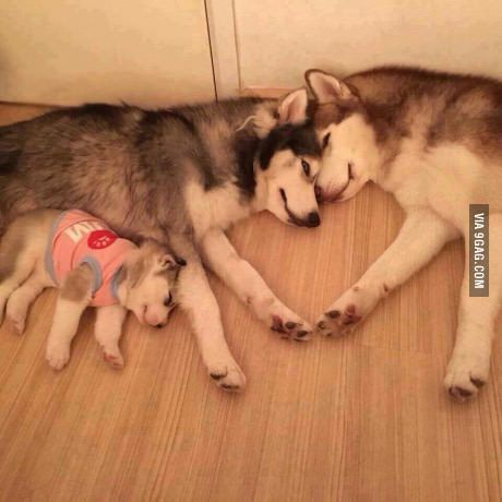 dog-husky-family1