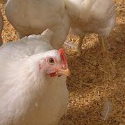 OMAFRA Poultry Producer Updates