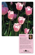 Promotional package: Tulips