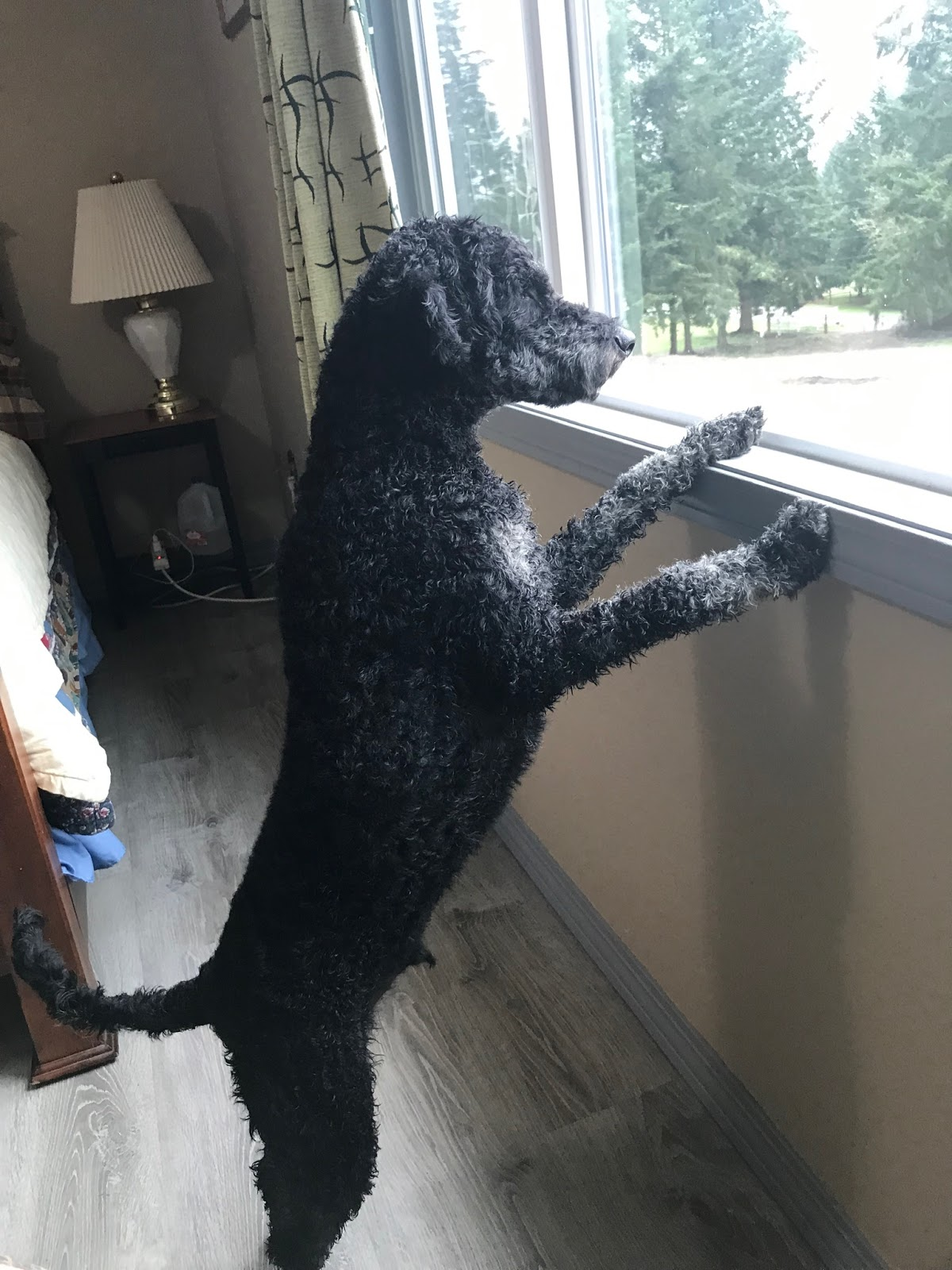 Rufus watching the rains