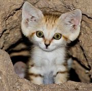 animal-Arabian_Sand_cat1