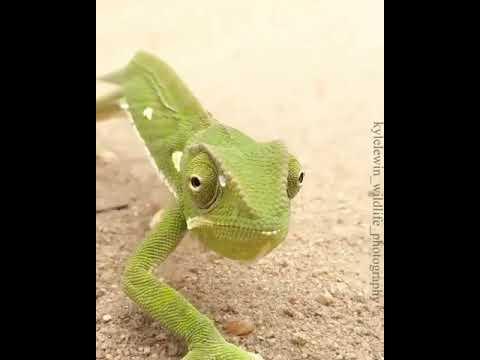 The Beautiful Chameleon