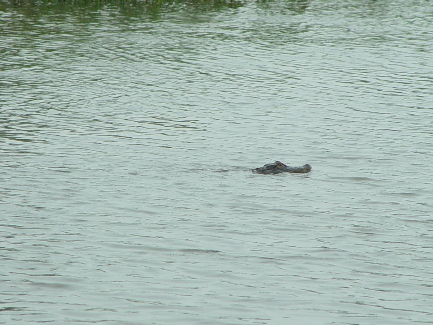 Alligator Watch while Surveying