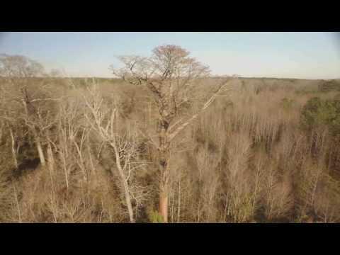 6 Foot Diameter Cypress Tree