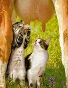 cats-udders1