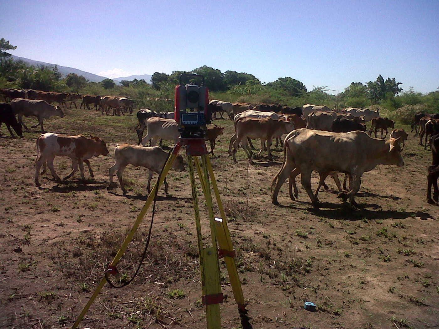Malawi Surveying Cattle