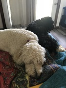 tired dogs!