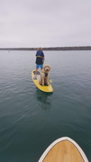 Bo the shepadoodle on the water