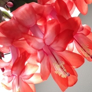 Beautiful Schlumbergera, Christmas Cactus