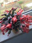 Schlumbergera...we call this plant Christmas Cactus in Germany