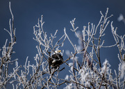 Bald Eagle amongst the hoarfrost