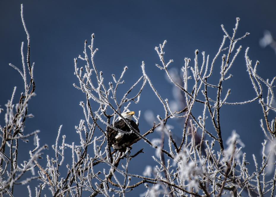 Bald Eagle amongst the hoarfrost