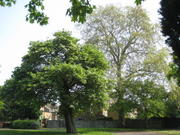Trees of the Western Rec - GUIDED TREE WALK