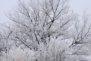 Hoar frost on trees and shrubs