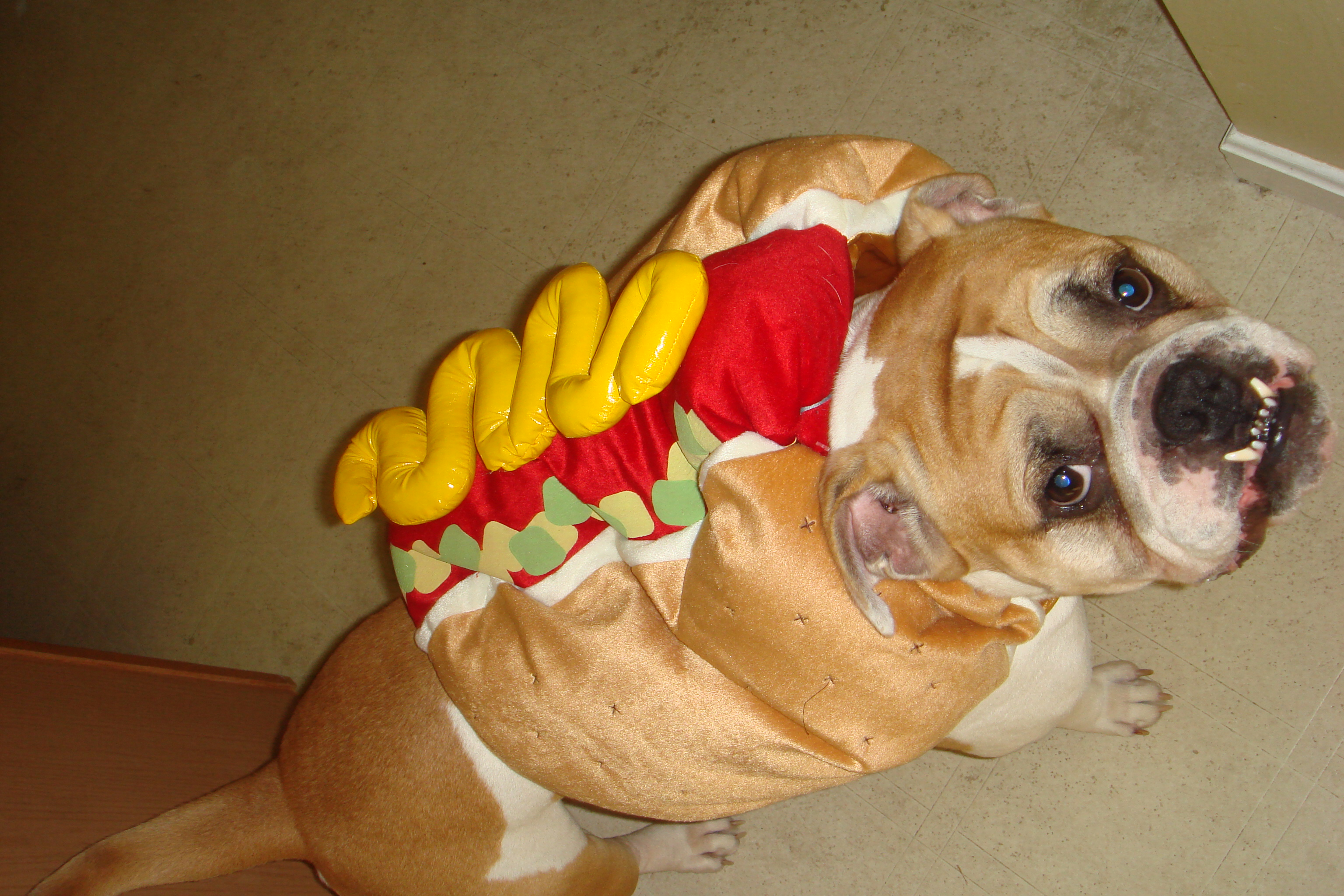 Poor Butch had to be a Hotdog for Halloween