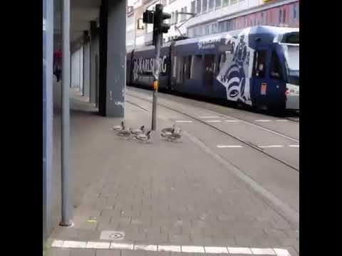 Ducks at Crosswalk