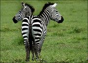 44058304 zebras416