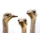 ostrich small(1)