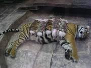 TigerPigs2