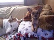 Tysha's chihuahua and husky