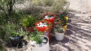 various houseplants, tomatoes, chiltepine in front