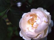 White English Rose