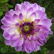 Lavender Dahlia