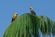 perroquets Ara dans la foret fluviale Venezuela