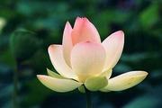 shintani lotus