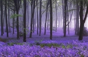 Nature-LavenderForest