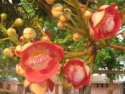 Zogam Flower (Red)