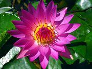 beijing_water_lily_purple