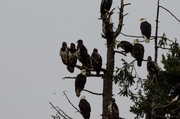 Tree of Eagles at the Dump.