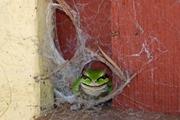 Spider? What spider? Burppp!