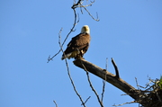 Watchful Eagle by her nest
